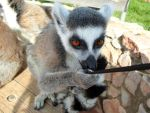 lemurs by Despina33