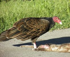 Turkey Vulture by Destroyah93