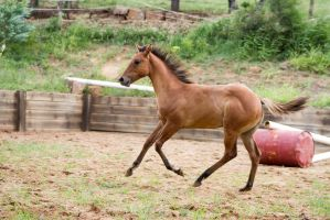 KM Foal Buckskin canter side view by Chunga-Stock