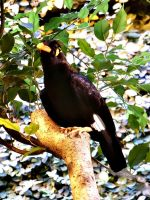 hill myna. by only-Freak-by-nature