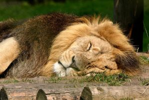The lion sleeps tonight by CharmingPhotography