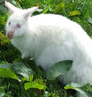 White Wallaby by Cyber-Centauri