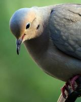 The Young dove by clippercarrillo