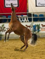 STOCK - 2014 Arabian Gala-43 by fillyrox