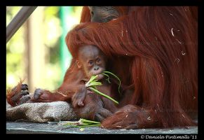 Baby Orangutan II by TVD-Photography