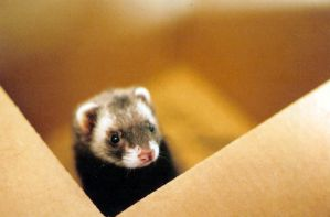 ferret in a box by KGBigelow
