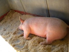 pig 3 by Tinkerbell0522