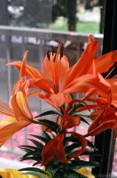 Hybrid Lily 5 by BiggieShorty