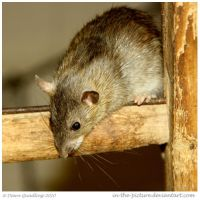 Brown Rat by In-the-picture
