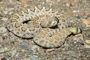 Neonate Crotalus atrox by michael-ray