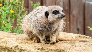 Marwell Meerkat 3 by Sklarlight
