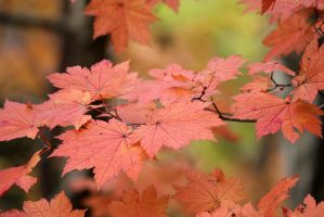 Autumn Leaves 9 by firenze-design