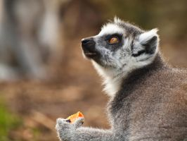 Ring Tailed Lemur 00 - Dec 11 by mszafran
