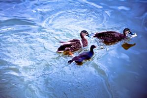 Ducks by Izzys-Photo-Corner