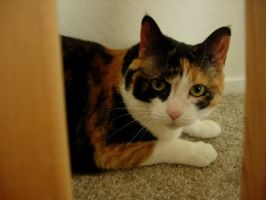 CC the Calico Cat by PacificPikachu