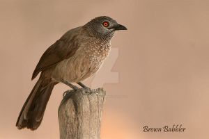 Brown Babbler by Jamie-MacArthur