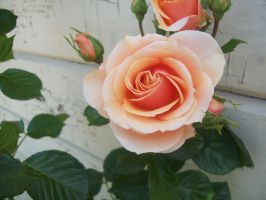 Rose 1 by luckylisa