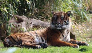 Wild animal 324 - the rest of the Bengal Tiger by Momotte2stocks