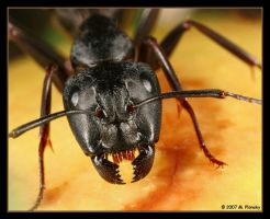 Ant Portrait by mplonsky