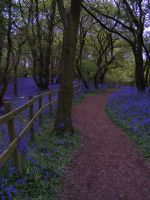 Bluebell Woods 2 by The-strawberry-tree