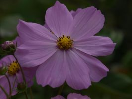 Cosmos 32 by botanystock