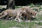 Timberwolf Fight III by Parides