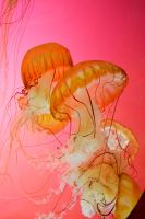 Jelly Fish 8 by PinkyDagger