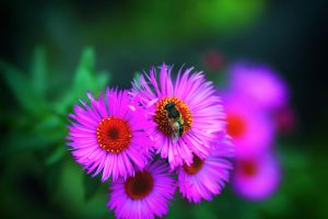 bee on pink 2 by jagerion