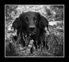 dog in heather by Sjodin