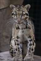 The Clouded Leopard by hoboinaschoolbus