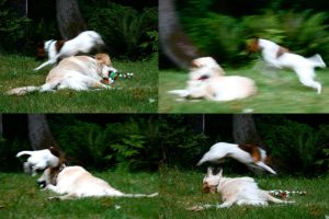 Smooth Fox Terrier attacks by WolfScribe
