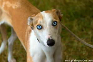 blue-eyed dog by Philophobos