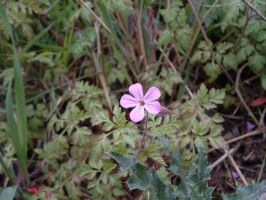 herb robert by Birchall96