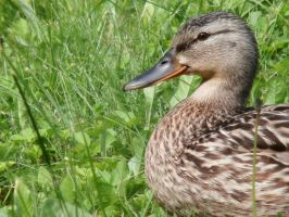 Wild mother duck by krabatas
