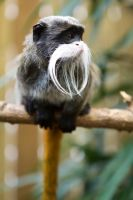 6907 - Emperor Tamarin by Jay-Co