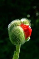 poppy. by vw1956stock