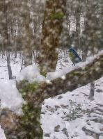 blueTit in the snow by Manipulate-It