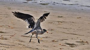 Sea Gull Flying With Food by mnjul