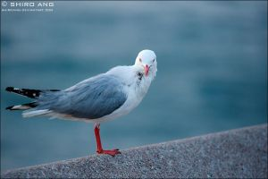 Silver Gull - 01 by shiroang