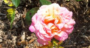 Pink Rose Three. by KristineAdelia
