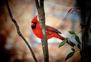 Male Cardinal 12-12-10 by Tailgun2009