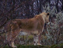 Lioness Hunting in Berries 2 by Malakhite