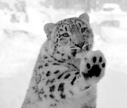 The snow leopard by direct-evul