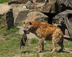 Mother love, the hyena way... by clochartist-photo