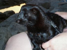 My American Mink by Younae