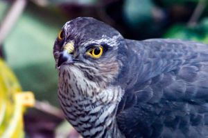 Sparrowhawk by crowlord1975