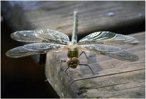 Dragonfly by Eirian-stock