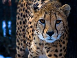 cheetah535 by redbeard31