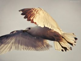Jonathan Livingston Seagull by Ashwings