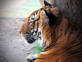 Sita Tiger 3 by HDevers